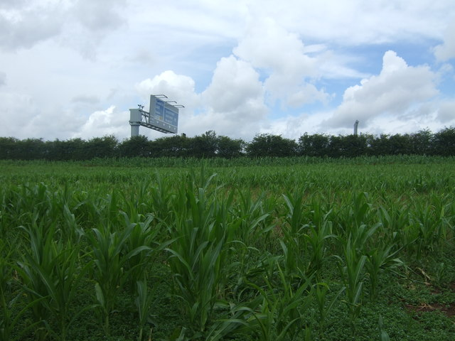 Maize crop near the M5 Motorway