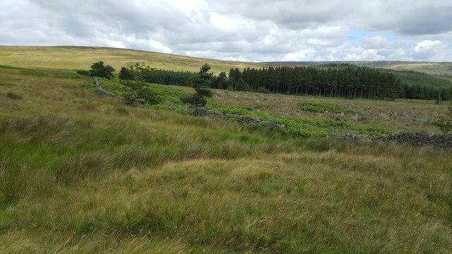 Dry stone wall on perimeter of Park Plantation, Reahope Moor