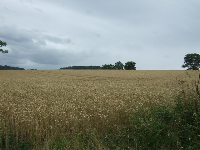 Cereal crop off Astwood Lane