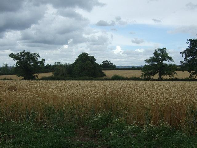 Cereal crop near Sharpway Gate Farm