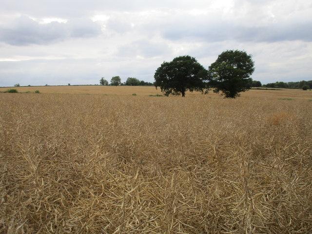 Oilseed rape and two trees near Rudsey Farm