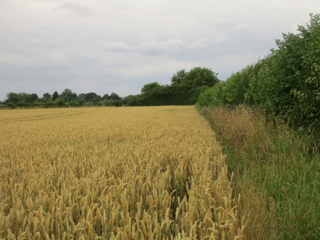 Wheat at Park Hill
