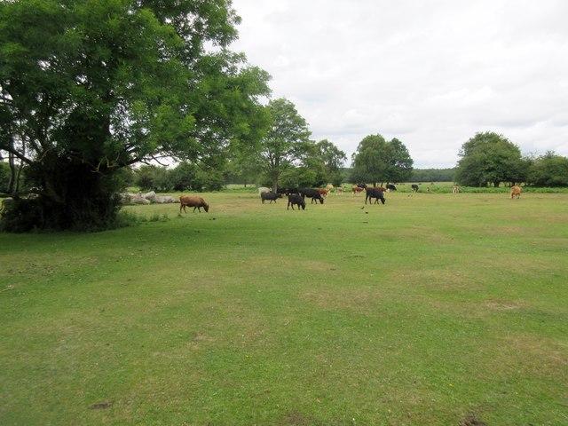 Cattle at Bulmer Lawn