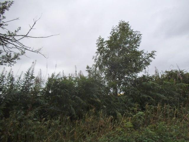 Hedge by Pepsal End Lane