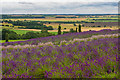 SE6670 : Yorkshire Lavender by Ian Capper