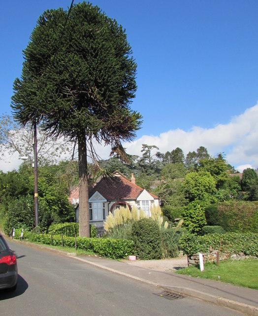 Monkey puzzle tree, Church Road, Aylburton