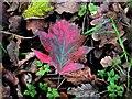 TQ7818 : Fallen leaf of wild service tree, Churchland Lane by Patrick Roper