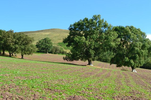 Trees in field below Tor y Foel