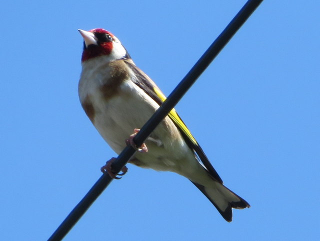 Goldfinch on a wire in Saltney Ferry