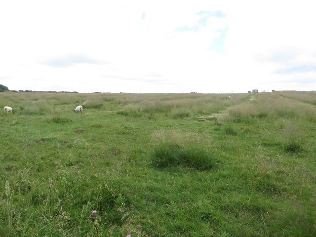 Sheep grazing beside the Headland Way