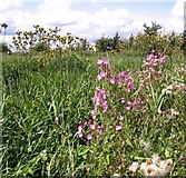 TM4599 : Great willowherb and Perennial sowthistles by Evelyn Simak