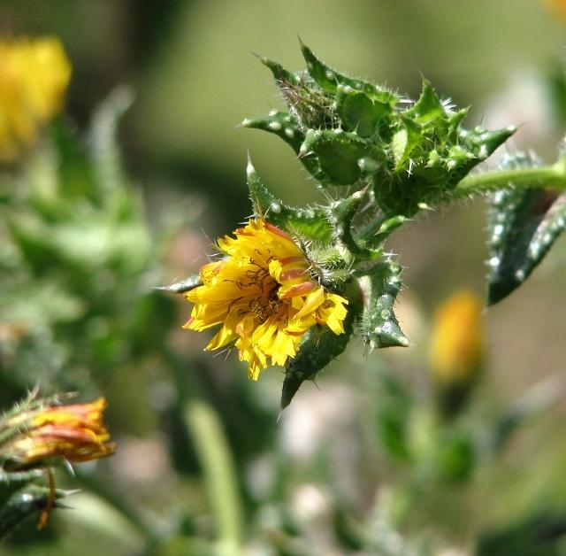 Perennial sowthistle (Sonchus arvensis) - flower