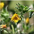 TM4599 : Perennial sowthistle (Sonchus arvensis) - flower by Evelyn Simak