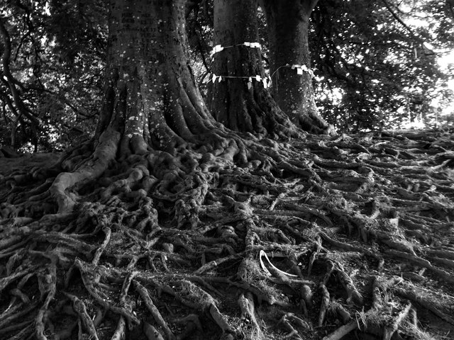 Beech-tree roots at Avebury