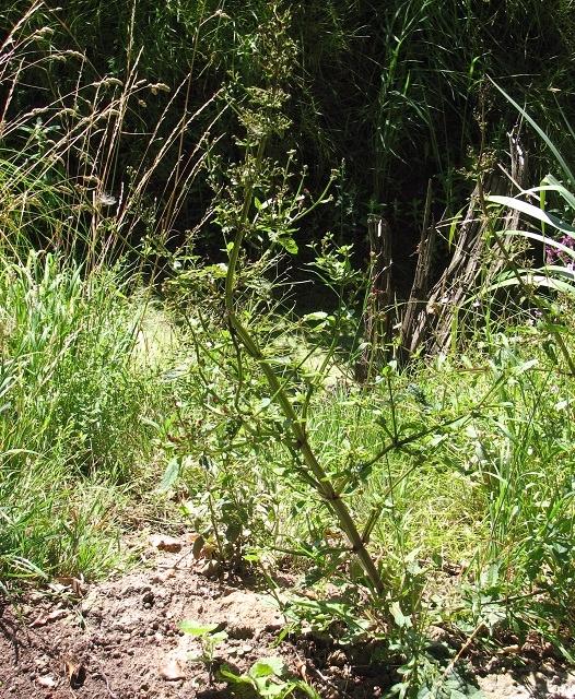 Water figwort (Scrophularia auriculata)