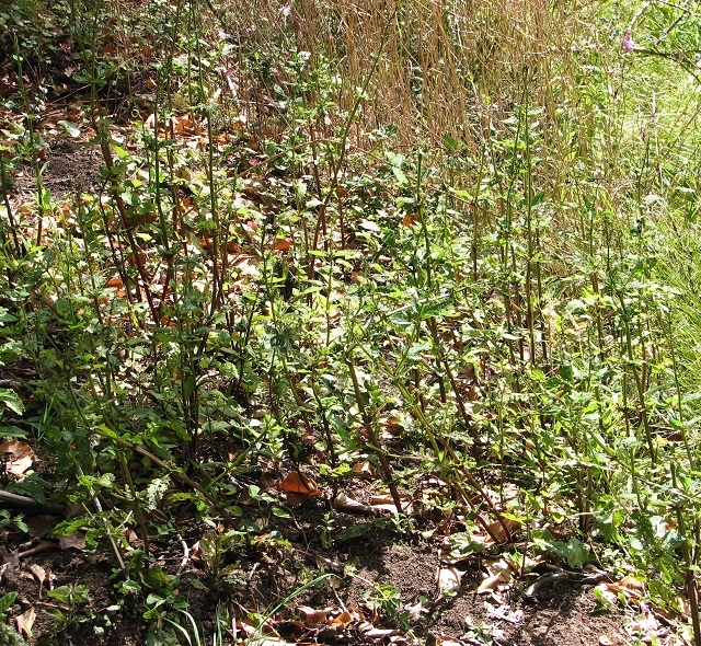A stand of Water figwort (Scrophularia auriculata)
