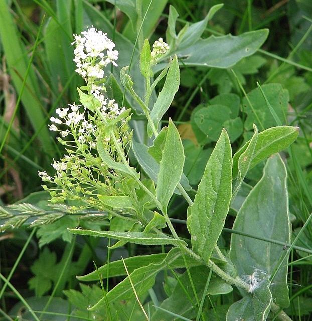 Hoary cress (Lepidium draba)