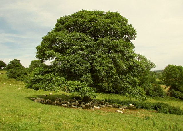 Sheep under oak, Gidleigh Park