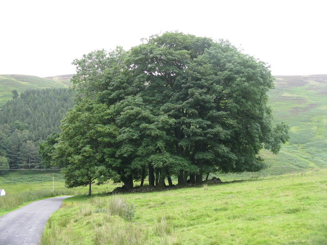 Clump of trees at Glencotho