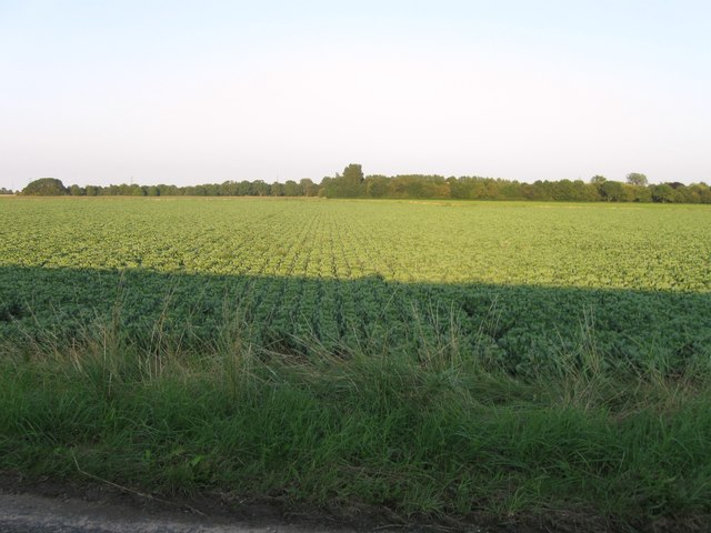 Field of Brussels Sprouts