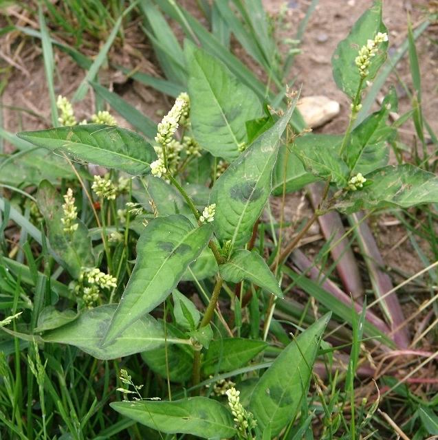 Pale Persicaria  (Persicaria lapathifolia)
