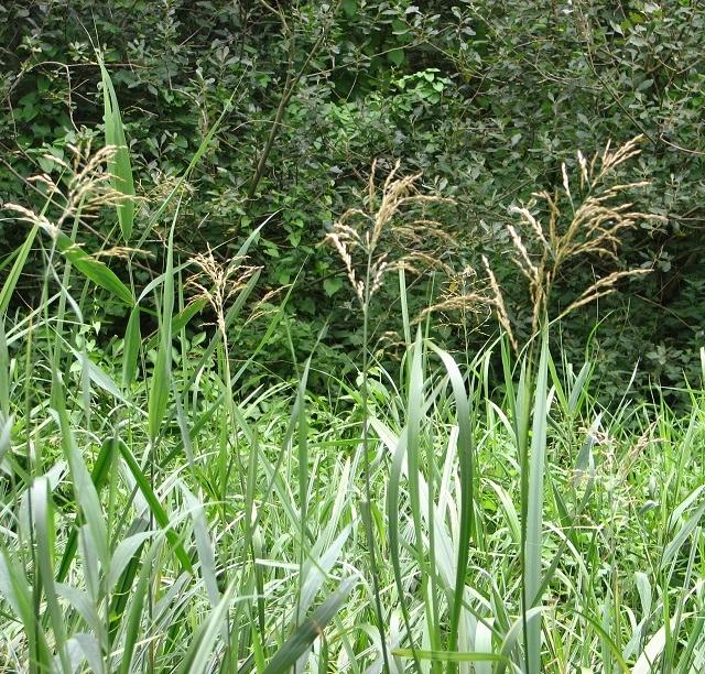 Reed Sweet-grass  (Glyceria maxima)