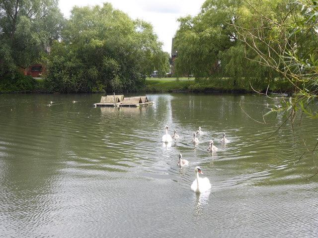 Swans on pond at Platford Green