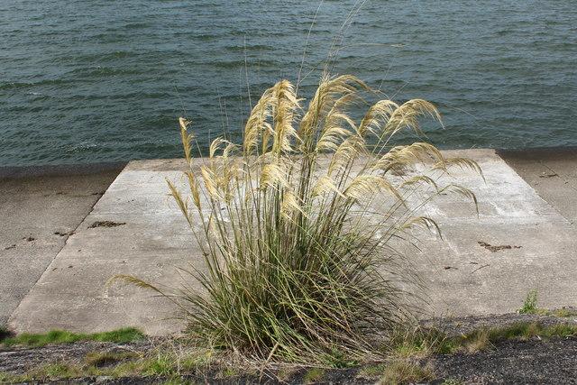 Pampas Grass at Loch Ryan
