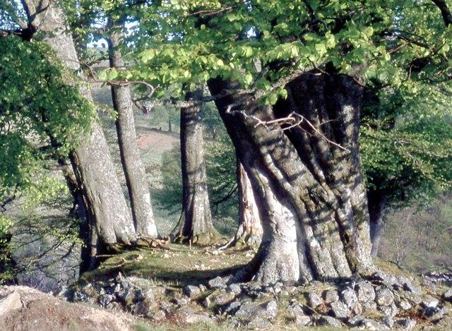 Circle of beech in Ruchillside Wood