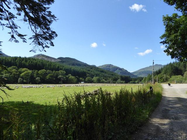 Sheep in field at Inveronich