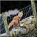 NY3916 : A Lakeland fox by Walter Baxter
