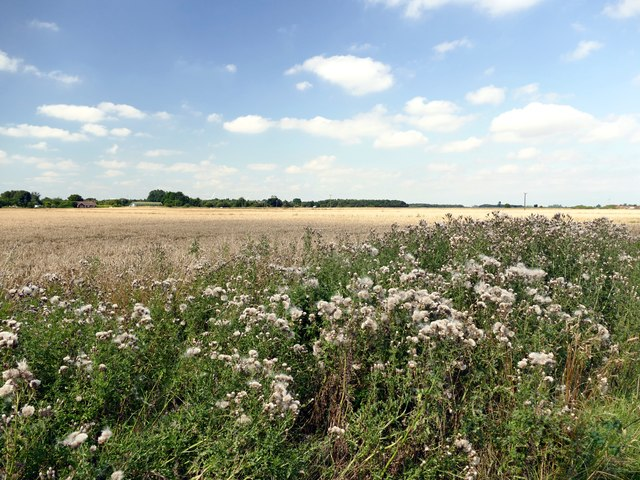 A patch of thistles beside a wheatfield