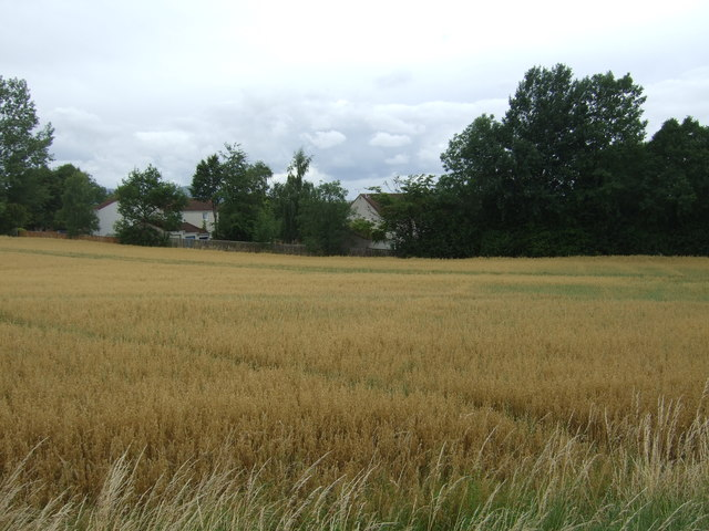 Cereal crop off Easthouses Road