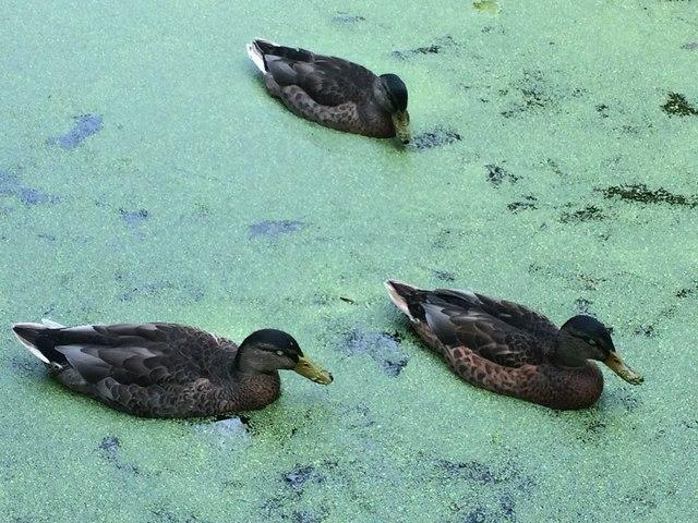 Ducks in green water