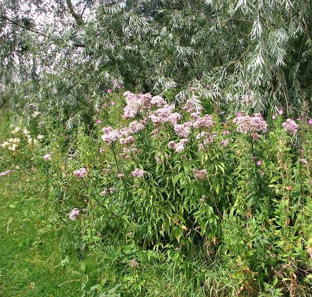 Hemp agrimony (Eupatorium cannabinum) in Beerlick's Loke
