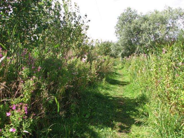 Great Willowherb flowering in Beerlick's Loke