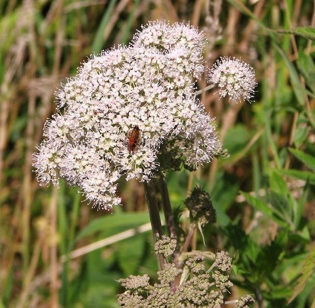 Wild Angelica (Angelica sylvestris) - flower