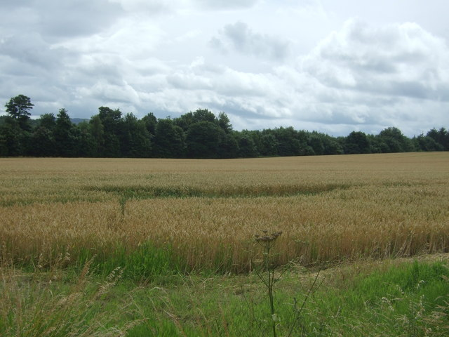 Cereal crop near Saltoun West Lodge
