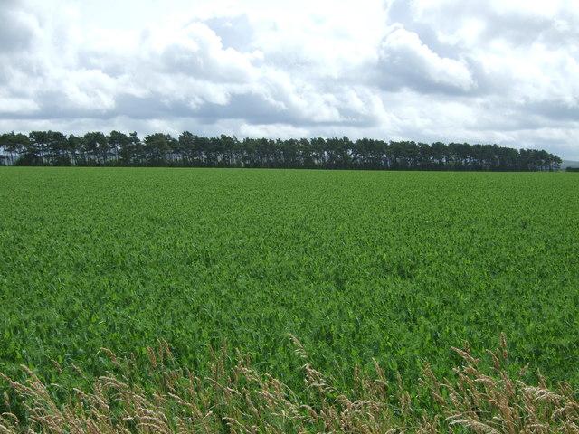 Crop field east of East Saltoun