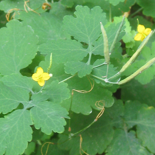Flowers, foliage and fruit of Greater Celandine, by Emscote Road, Warwick