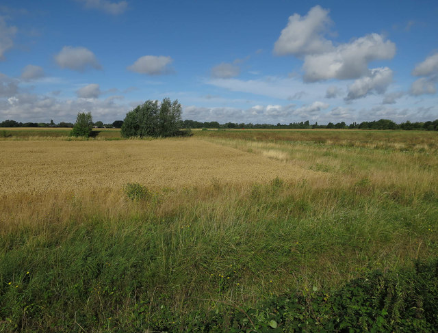 Ripe wheat near Fen Drayton Lakes