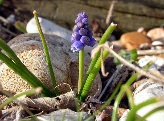 Grape hyacinth on Church Norton beach