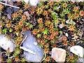 SZ8794 : Juniper haircap moss, Church Norton beach by Patrick Roper