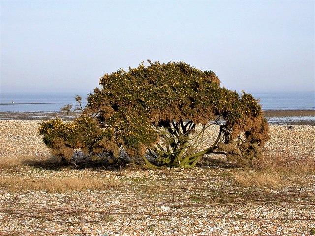 Gorse bush on Church Norton beach