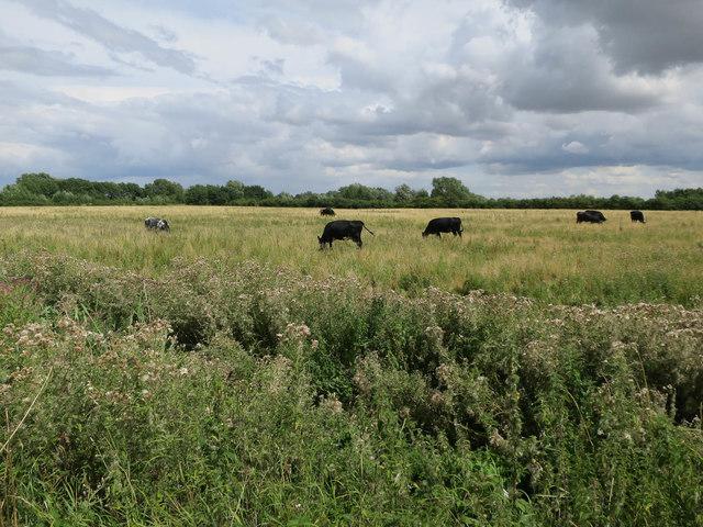 Cows at Fen Drayton Lakes