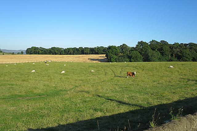 Livestock at Bonnington Mains
