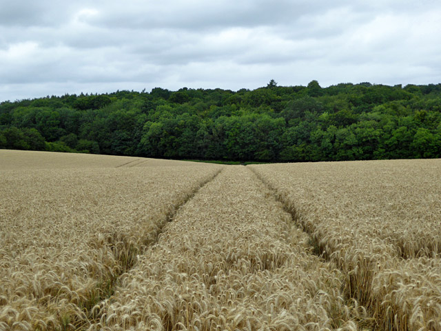 Barley field south of Common Wood Lane