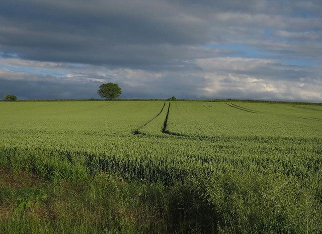 Wheat field by Cow Lane