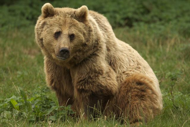 Eurasian Brown Bear, Whipsnade Zoo