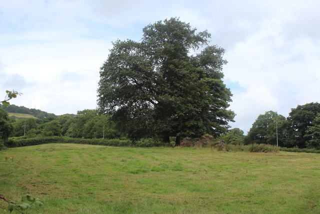 Two trees in field, Thornhill Road